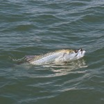 charleston-sc-tarpon-fishing