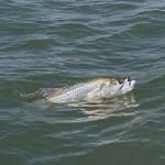 charleston-sc-tarpon-fishing